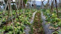 Harga Jual Sayuran Anjlok,  Hasil Panen untuk Pakan Sapi
