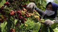 Persaingan di Pasar Ekspor Kian Ketat, PTPN XII Targetkan Produksi Kopi 3.601 Ton