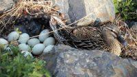 Telur Bebek Bisa Tingkatkan Risiko Penyakit Jantung