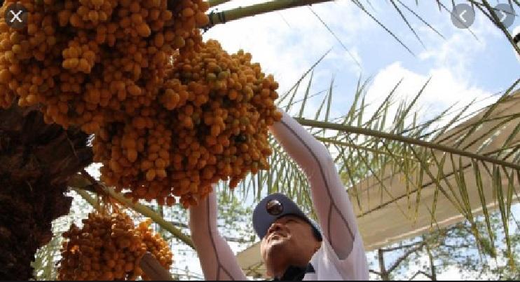 Buah Kurma Kesukaan Nabi Muhammad Beredar di Indonesia, Ini Khasiatnya
