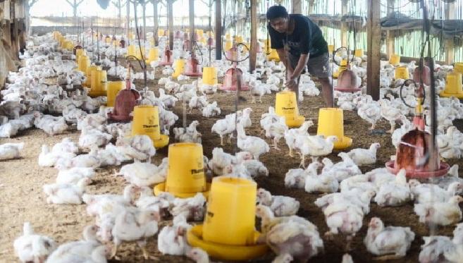 Bisnis ayam broiler , sejak beberapa tahun lalu populer.