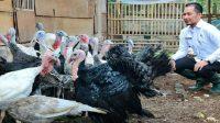 Cara Budidaya Ayam Kalkun Yang Bisa Menguntungkan Peternak Ayam