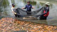 Perwira Polisi Tekuni Bisnis Ikan Nila