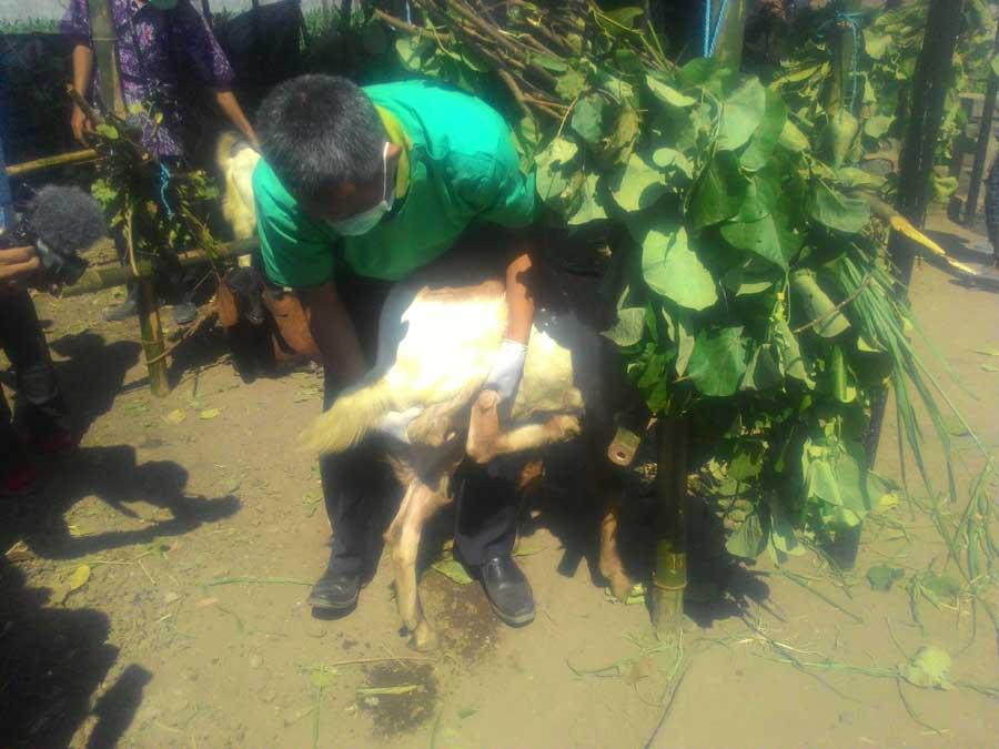Pedagang Hewan Qurban dari Berbagai daerah Jualan di Kota Kediri, Ada Hewan Yang Sakit Tetep Dijual