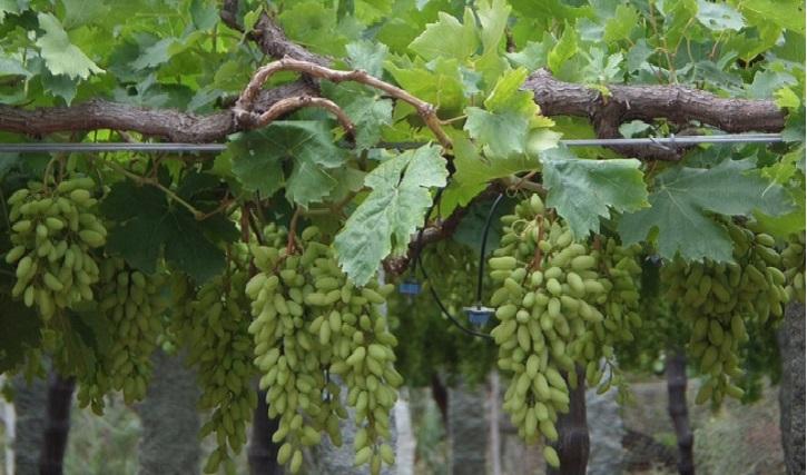 tanaman buah kurma banyak ditanam di pekarangan rumah di Indonesia. Buah ini disebut beberapa kali dalam surat Al Qur'an, tergolong buah yang disukai Rosulullah, Nabi Muhammad SAW